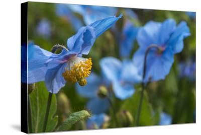 Iceland, Akureyri. Blue Poppies in the Botanical Garden Lystigaardur-Cindy Miller Hopkins-Stretched Canvas Print