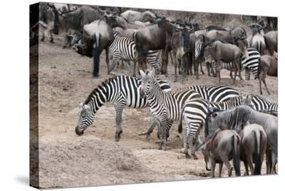 Common Zebras and Wildebeest Approaching the River Mara, Masai Mara, Kenya-Sergio Pitamitz-Stretched Canvas Print