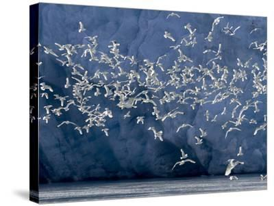 Arctic Ocean, Norway, Svalbard. Flying Kittiwake Birds and Glacier Face-Jaynes Gallery-Stretched Canvas Print
