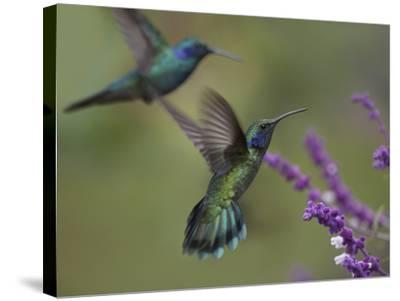 Green Violet-Ear Hummingbirds, Costa Rica-Tim Fitzharris-Stretched Canvas Print