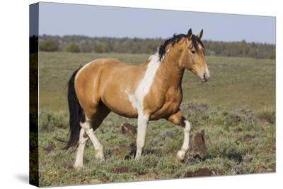 Wild Horses, Strutting Stallion-Ken Archer-Stretched Canvas Print