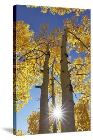 Colorado, San Juan Mountains. Aspen Trees in Autumn Color-Jaynes Gallery-Stretched Canvas Print