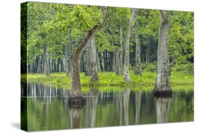 Louisiana, Miller's Lake. Tupelo Trees Reflect in Water-Jaynes Gallery-Stretched Canvas Print