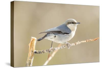 Colorado, Frisco. Close-Up of Pygmy Nuthatch-Jaynes Gallery-Stretched Canvas Print