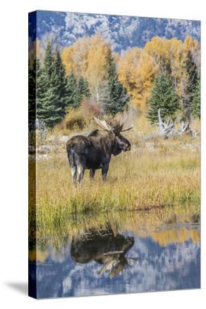 Wyoming, a Bull Moose Stands Near the Snake River at Schwabacher Landing in the Autumn-Elizabeth Boehm-Stretched Canvas Print