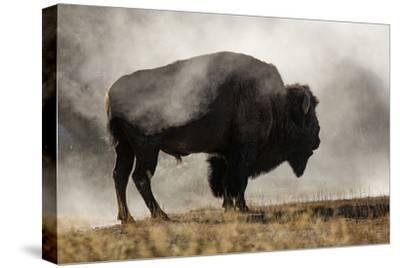 Bison in Mist, Upper Geyser Basin Near Old Faithful, Yellowstone National Park, Wyoming-Adam Jones-Stretched Canvas Print