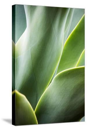 Hawaii, Maui, Agave Plant with Fresh Green Leaves-Terry Eggers-Stretched Canvas Print