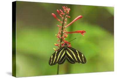 Costa Rica, Arenal. Zebra Butterfly-Jaynes Gallery-Stretched Canvas Print