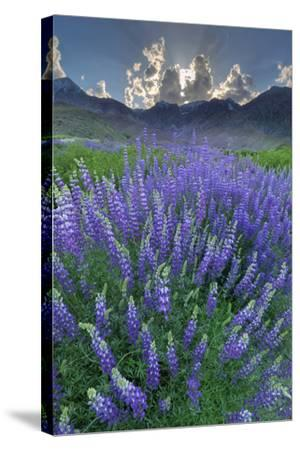 California, Sierra Nevada Mountains. Inyo Bush Lupine Blooms and Mountains-Jaynes Gallery-Stretched Canvas Print