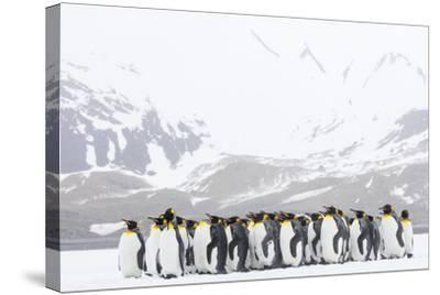 South Georgia Island, Right Whale Bay. Penguins Huddle Together in Snowstorm-Jaynes Gallery-Stretched Canvas Print