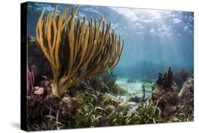Sunlight Illuminates Soft and Hard Corals and Blue and Clear Waters, Cuba-James White-Stretched Canvas Print