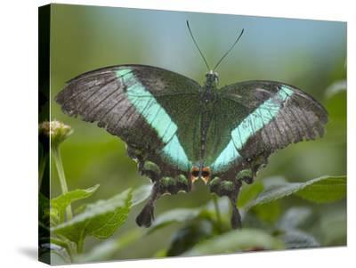 Emerald Swallowtail Butterfly, Philippines-Tim Fitzharris-Stretched Canvas Print