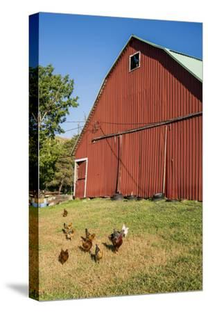 Washington State, Palouse, Whitman County. Pioneer Stock Farm, Chickens and Peacock in Barn Window-Alison Jones-Stretched Canvas Print