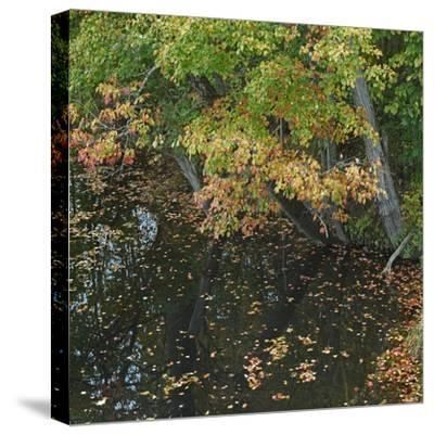 Fallen Leaves on Little Androscoggin River, New Hampshire, Usa-Tim Fitzharris-Stretched Canvas Print