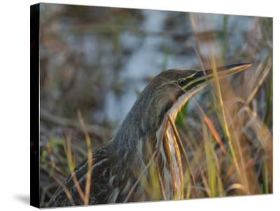 American Bittern, Viera Wetlands, Florida, Usa-Maresa Pryor-Stretched Canvas Print