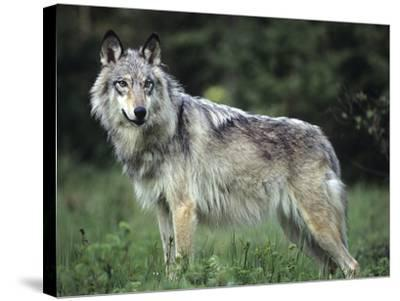 Gray Wolf in Spring, Montana-Tim Fitzharris-Stretched Canvas Print