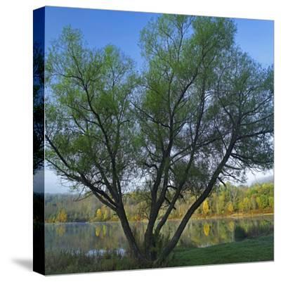 Willow Tree at Lackawanna Lake in Autumn, Lackawanna State Park, Pennsylvania, Usa-Tim Fitzharris-Stretched Canvas Print