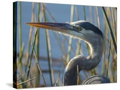 Great Blue Heron, Ardea Herodias, Viera Wetlands, Florida, Usa-Maresa Pryor-Stretched Canvas Print