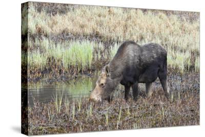 Alaska, Moose Off Seward Highway Near Girdwood-Savanah Stewart-Stretched Canvas Print