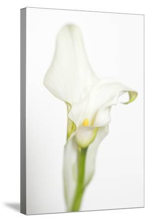 Maine, Harpswell. White Calla Lily-Jaynes Gallery-Stretched Canvas Print
