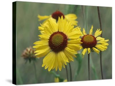 Close-Up of Yellow Blanket Flowers, Usa-Tim Fitzharris-Stretched Canvas Print