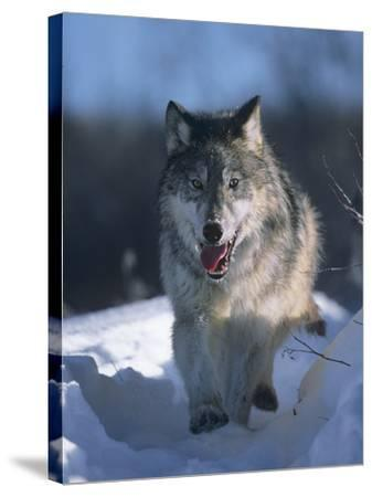Gray Wolf Running Along a Trail in Snow, Montana-Tim Fitzharris-Stretched Canvas Print