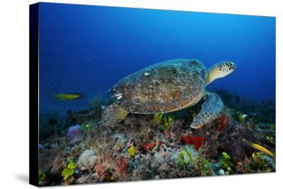 A Green Sea Turtle Swims Off the Esso Bonaire Shipwreck Artificial Reef-David Doubilet-Stretched Canvas Print