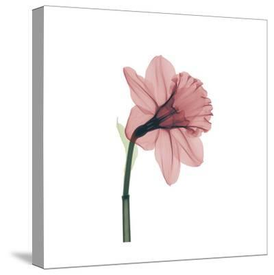 Veiled Blossom Coral--Stretched Canvas Print