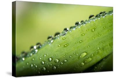 Macro Green Leaf with Water Drops-Carlo Amodeo-Stretched Canvas Print