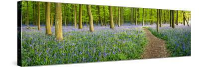 Path Winds Through a Carpet of Bluebells in a Wood in Hertfordshire, UK-Dan Tucker-Stretched Canvas Print
