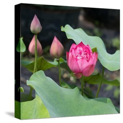 Lotus Flower and Lotus Flower Plants-Wu Kailiang-Stretched Canvas Print