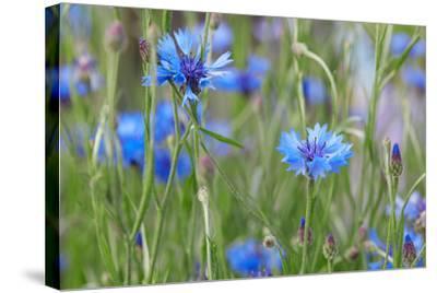 Cornflowers, Centaurea Cyanus, Macro-A. Astes-Stretched Canvas Print
