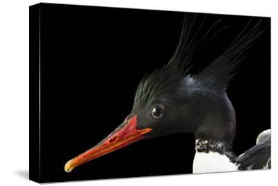 An Endangered Male Scaly Sided Merganser, Mergus Squamatus, at Sylvan Heights Bird Park-Joel Sartore-Stretched Canvas Print