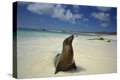 A Galapagos Sea Lion, Zalophus Wollebaeki, on Beach in the Galapagos Islands, Ecuador-Kike Calvo-Stretched Canvas Print