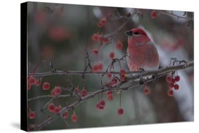 A Grosbeak Perches on a Tree Branch in Grand Teton National Park-Charlie James-Stretched Canvas Print
