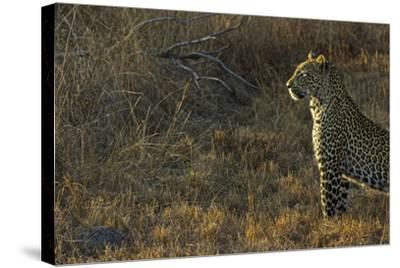 A Female Leopard Secures an Area from Predators for Her Cubs to Sleep-Steve Winter-Stretched Canvas Print