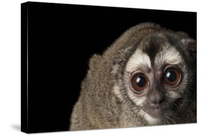 A Colombian Night Monkey, Aotus Lemurinus, at the Houston Zoo-Joel Sartore-Stretched Canvas Print