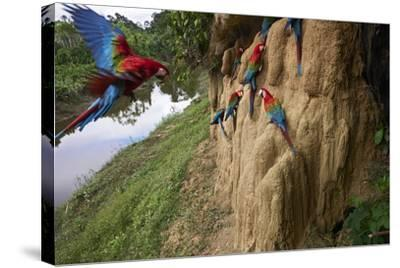 Clay Cliffs Form a Natural Salt Lick That Attracts Red-And-Green Macaws-Charlie James-Stretched Canvas Print