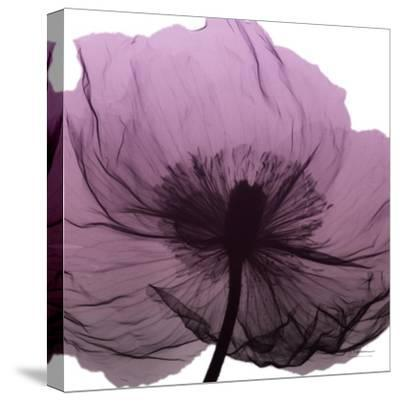 Poppy Purple-Albert Koetsier-Stretched Canvas Print