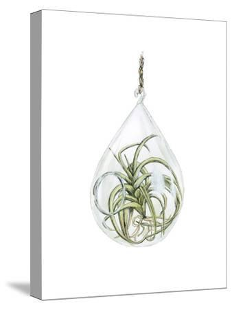 Air Plant 3-Brenna Harvey-Stretched Canvas Print