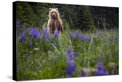 Grizzly Bear (Ursus Arctos Horribilis) With Lupines, Lake Clark National Park, Alaska-Jay Goodrich-Stretched Canvas Print