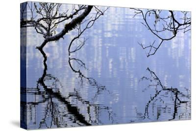 Big Leaf Maple Branches Touch The Waters Of Lake Crescent In Olympic National Park In Washington-Jay Goodrich-Stretched Canvas Print
