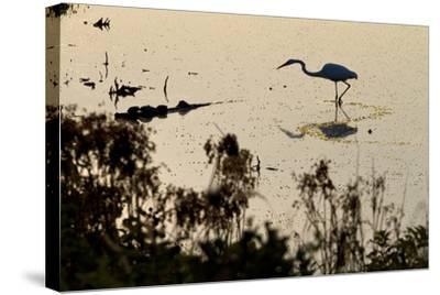 Great Egret Stands Still, It Stalks Dinner, Marshes Of Blackwater Wildlife Refuge, Cambridge, MD-Karine Aigner-Stretched Canvas Print