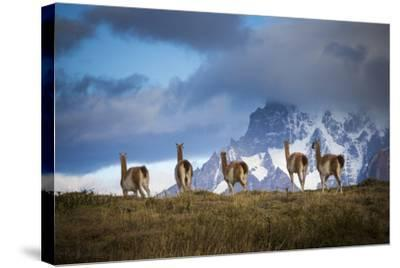 Guanacos (Lama Guanicoe) Grazing With Cuernos Del Paine Peaks In The Background-Jay Goodrich-Stretched Canvas Print