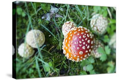 Amanita Mushroom, Mt. Rainier National Park, WA-Justin Bailie-Stretched Canvas Print