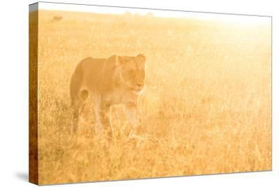 A Female Lion In The Warm Morning Light. Location: Maasai Mara, Kenya-Axel Brunst-Stretched Canvas Print