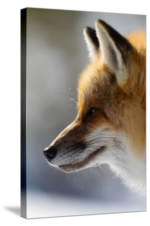 A Close-Up Of A Red Fox, Vulpes Vulpes, Looking Inquisitive And Watchful-Greg Winston-Stretched Canvas Print