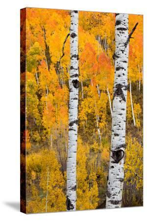 A Pair Of White Aspen Trees In Front Of A Brightly Colored Stand Of Aspens In Fall Colors-Greg Winston-Stretched Canvas Print