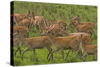 A Herd Of Swamp Deer In Kaziranga National Park-Steve Winter-Stretched Canvas Print