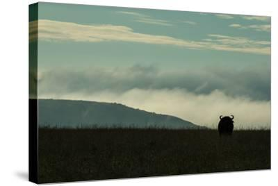 The Silhouette Of An African Buffalo Standing In Kenya's Masai Mara National Reserve-Beverly Joubert-Stretched Canvas Print